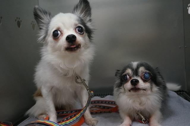 続いてチワワのサンちゃん(左)&テンちゃん(右)☆ 今日は揃ってお手入れしました♪ ドッキリしてる所も最高に可愛かったよ(*^^)vお疲れ様☆
