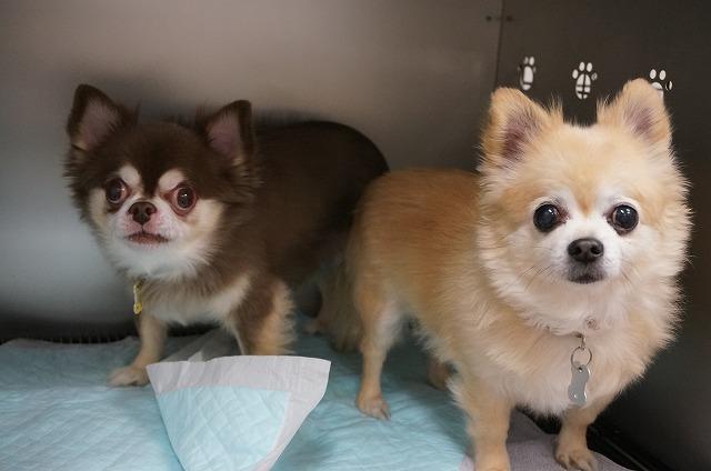 チワワのバトンちゃん(左)&マリンちゃん(右)☆ ちょっぴり緊張しながら可愛らしく来店してくれました♪