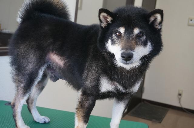 そんな可愛いお口回りを持つ柴犬のビターちゃん☆ 今日もムッチリムチムチ触られながらシャンプーコースでぴかBOYに(*´ω`)
