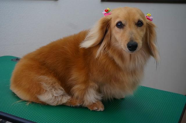 続いてMダックスのイヴちゃん☆ シャンプーコースでサラリ~いい香りのお美女さんに(*^^)v