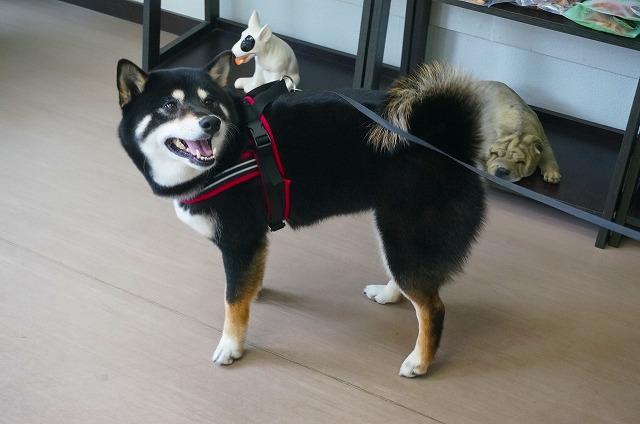続いて柴犬のうずめちゃん☆ シャンプーコースでサッパリぴかぴかの素敵女子に(*´ω`)