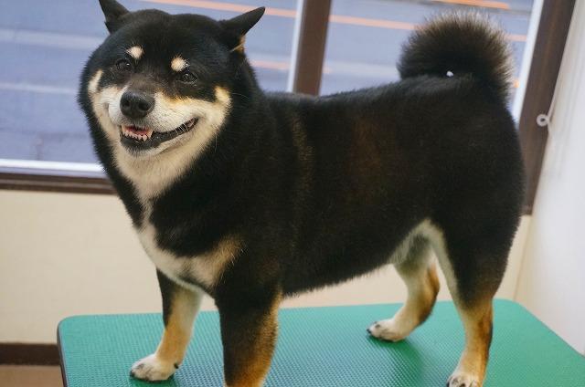 続いて柴犬のげんまいちゃん☆ シャンプーコースで艶ぴかのテカリ~ンイケメンに(#^.^#)